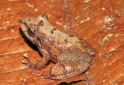 Pristimantis orphnolaemus, first sighting in the country of Perú.